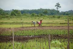 Farmer planting rice on tropical peat in West Kalimantan