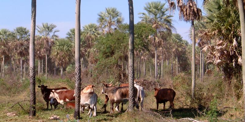 Chaco Paraguay, cattle ranch, Presidente Hayes Department, Peer V