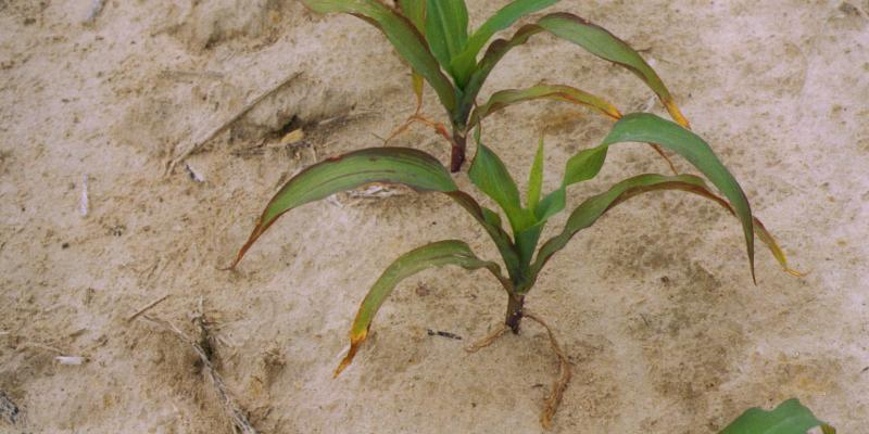 C. Crozier: A phosphorus deficiency in corn grown in the Coastal Plain of North Carolina; https://creativecommons.org/licenses/by/2.0/ (unchanged)